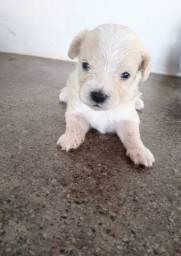 Cachorro poodle maltês