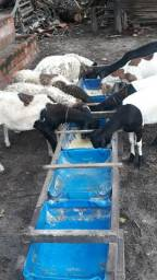 Carneiros 6 animais zap *
