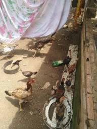Venda de galo e galinha de procedencia