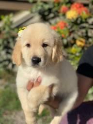 Lindos Golden com pedigree