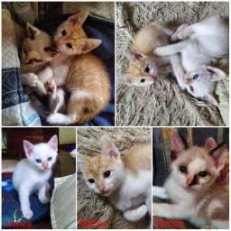 Gatinhos filhote de 60 dias