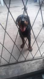 Rottweiler com 4 meses