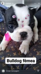 Filhote de bulldog fêmea, encantadora!
