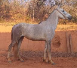Égua Registrada - Mangalarga Marchador
