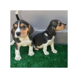 Beagle com pedigree e microchip em ate 18x