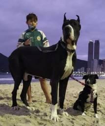 Dogue Alemão - Gigantes e lindos filhotes