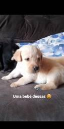 Filhote de Labrador Puríssimo