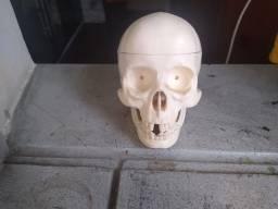 Crânio esqueleto