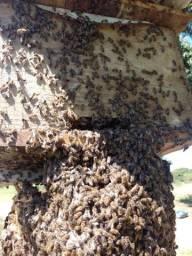 Remoção de enxames abelha africana e venda de ASF
