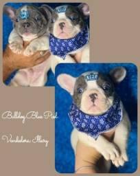 Bulldog frances Blue Pied  com pedigree e microchip em ate 12x