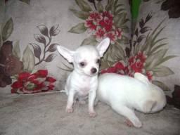 Chihuahua macho lindos !