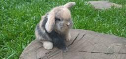 Mini lop uruguaios - mini coelhos