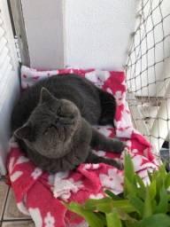 Título do anúncio: Gato Persa exótico procura namorada