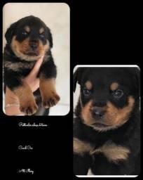 Rottweiler com pedigree e microchip em ate 12x