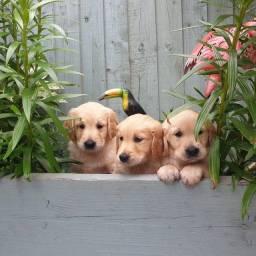 Golden retriever filhotinhos machos e fêmeas disponíveis, presenteie seu amor