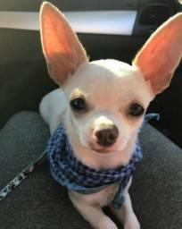 Chihuahua branco para cruza