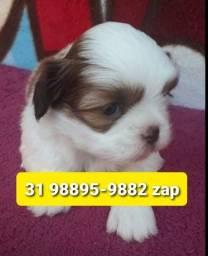 Título do anúncio: Canil Filhotes Cães Top BH Lhasa Yorkshire Basset Shihtzu Maltês