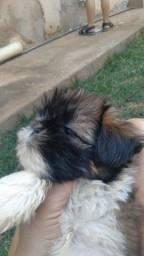 Título do anúncio: Vendo  um  cachorros  sithisu  tricolor  macho