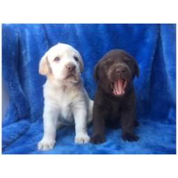 Labrador com pedigree e micro chip em até 18x