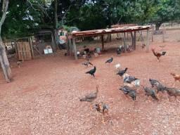 frangos e galinhas caipiras