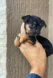 Pinscher fêmea minúsculo