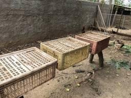 Caixas p transporte de frangos