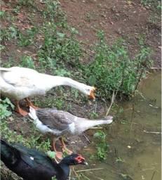 Patos e gansos