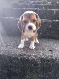 Beagle fêmea