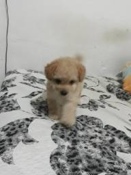 Poodle fêmea 350$