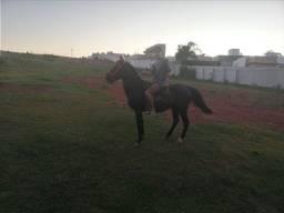 Cavalo picaço, bom de montaria e manço