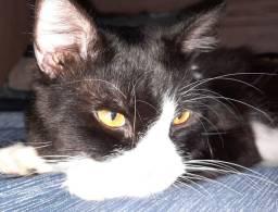Gato Persa com Angora