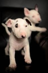 Bull Terrier - Lindos filhotes disponiveis