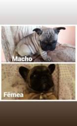 Filhotes de Bulldog francês  disponível