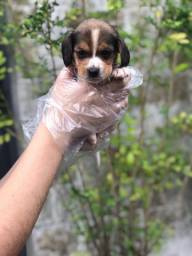 Beagle pronta entrega