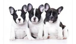 Vem para MK DR PET aqui tem Bulldog Frances de ótima linhagem!