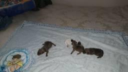 Cachorro filhotes