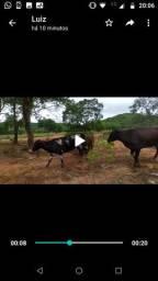 Vendo vacas paridas