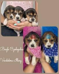 Beagle com pedigree e microchip em ate 12x
