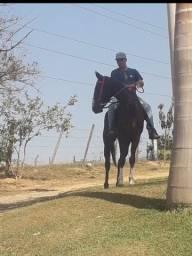 Cavalo paulista