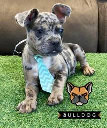 American bully macho