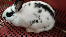 Mini coelha hotot
