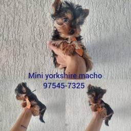Mini yorkshire filhotes