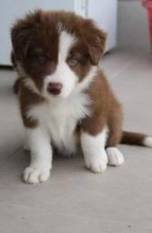 Border Collie Chocolate/Bluemerle/Redmerle - Assistencia veterinaria gratuita
