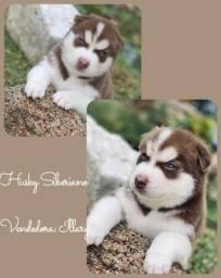 Husky siberiano com pedigree e microchip em ate 12x