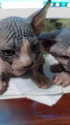Sphynx machos e fêmeas castrados com pedigree