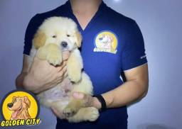 Golden Retriever macho c/pedigree e chip
