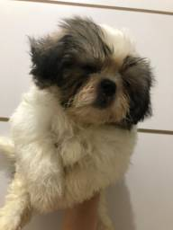Mine shihtzu Macho