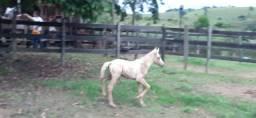 Potro Mangalarga Marchador  com 20 dias de nascido.