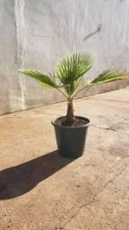 Título do anúncio: Palmeira Washingtonia