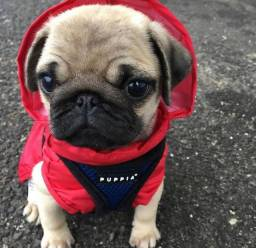 Filhotes de Pug Disponíveis